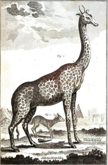 18c68f914227a982fdd351dd1f354ab4 Gravure girafe 1762: Engraving giraffe 1762 - copie