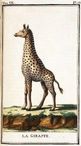 Buff_giraffe_1785_dar02404