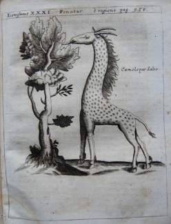 x Camelopardalis - copie